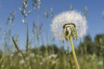 Seeds of dandelion on a stem.
