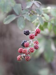 Wild  blackberries macro