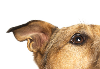 A close up of a brown dog's eye and ear on a white background