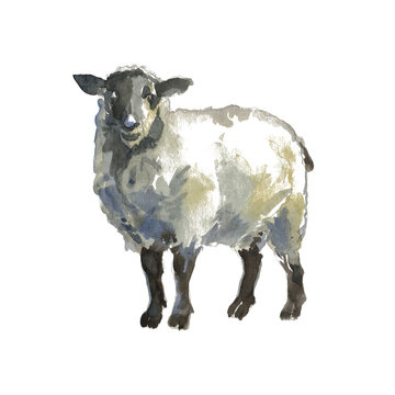 The sheep portrait