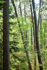 Crooked tree trunks in a coniferous forest.