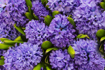 Purple hyacinths created from the bird´s perspective