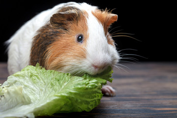 A small guinea pig eating a lettuce leaf