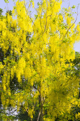 Beautiful of Golden Shower Tree or the Golden Rain Tree (Cassia Fistula) with yellow bouquet hanging down from branch