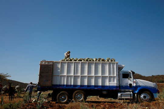 Workers load hearts of blue agave onto a truck during harvest in Tequila