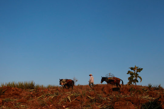 An arrieros or a muleteer walks with his mule loaded with hearts of blue agave during harvest at a plantation in Tequila