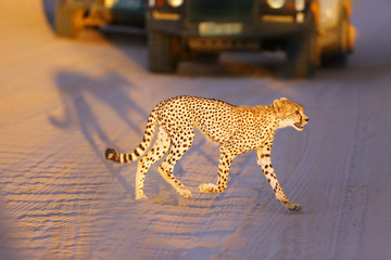 The young cheetah (acinonyx jubatus) runs the road between the cars. Cheetah in the late evening light on the road in the desert.