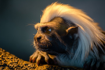 Small tamarin pinnacle