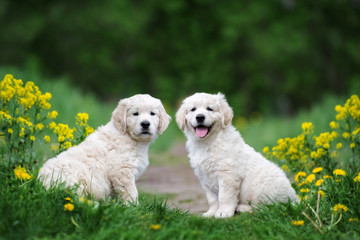 two adorable golden retriever puppies sitting outdoors in summer