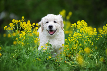 adorable golden retriever puppy outdoors in summer