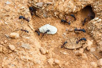 Camponotus cruentatus. Hormigas de la madera. Hormiguero.