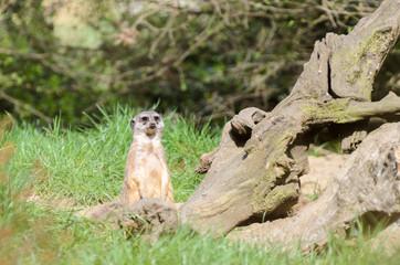 Meerkat looks around the prairie, protects his herd.