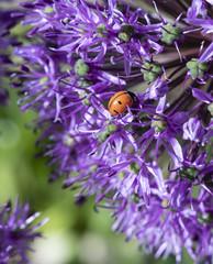 Close up of Lady Bug on Purple Allium Flowers