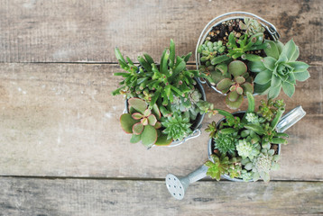 Mix variety of Succulent Flowers in Pot Plants in Garden. rustic wooden board. Ciopy sapce.