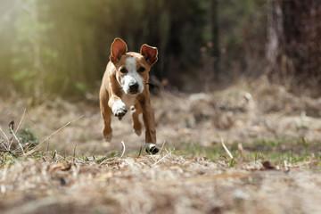 Running dog, Staffordshire Terrier
