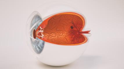Menschliches Auge im Querschnitt - sehr detailreich