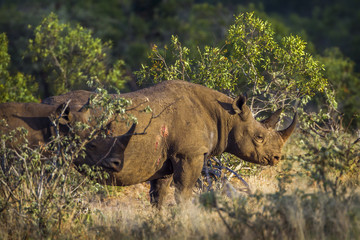 Black rhinoceros in Kruger National park, South Africa