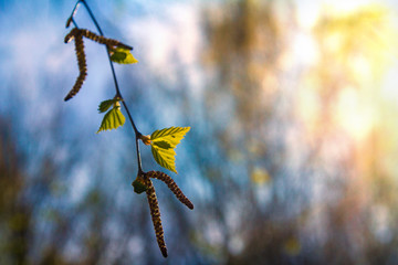 first green birch leaves with seeds on a spring sunny day against the blue sky