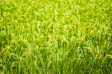 Beautiful nature farm rice and the green field, and the gleaming grain.