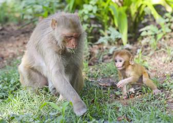 Indian Monkey or Rhesus Macaque Monkey Portrait, Ranakpur Jain Temple, Rajasthan, India