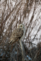 Portrait of short eared owl