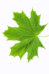 Green leaf of a maple on a white background. Isolate.