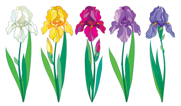 Vector set with outline purple, lilac, yellow and pastel white Iris flower, bud and leaves isolated on white background. Ornate Irises for spring or summer design in contour style.