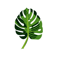 Tropical leaf of Monstera or palm plant isolated on white background
