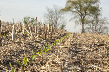 A row of sprouting corn on the diagnol in a field where no-tillage was used.