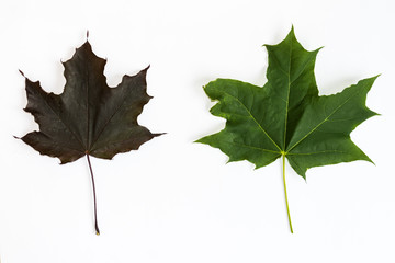 Top view of brown and green maple leaf on white background.