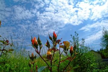 unopened rosebuds in the garden in summer