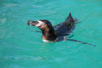Humboldt Penguin swimming in some water
