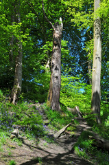 bright sunlit spring woodland with tall beech trees on a hill with vibrant green new foliage shadows on the forest floor and blue shy behind the leaves