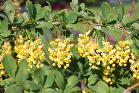 Branch of Berberis vulgaris or European barberry. Cultivar with green leaves and yellow flowers