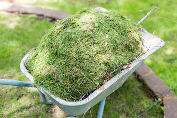 Old wheelbarrow fully loaded with mown on green meadow after cutting lawn in garden.  Cleaning and gardening