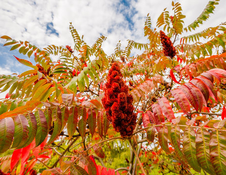 Large red sumac plant in fall.