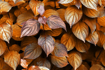 Metallic bronze leaves. The ultra gold metallic effect with a orange and yellow tint is made from fantastic fresh bush leaves. The image of unreal plants for backgrounds and design.