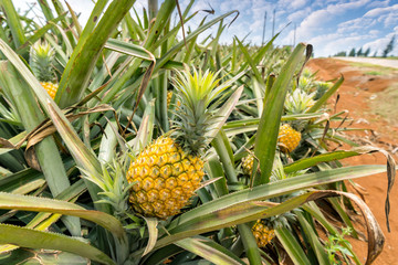 Pineapple fruit on the plantation farm