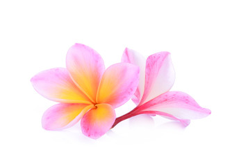pink frangipani flower isolated white background