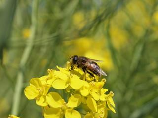 菜の花に止まったハチ