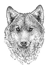 Wolf head illustration, drawing, engraving, ink, line art, vector