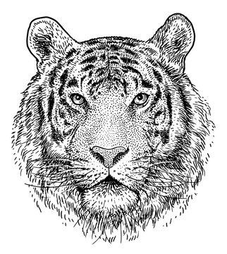 Tiger head illustration, drawing, engraving, ink, line art, vector