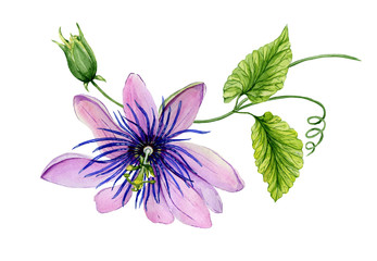 Beautiful purple passiflora (passion flower) on a twig with green leaves. Isolated on white background. Watercolor painting.