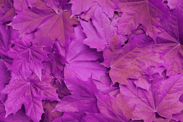 Violet purple maple tree leaves as very bright colorful abstract background close up top view.
