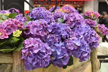 Hydrangea in the pot. Flower garden. Care for growth.