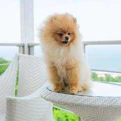 Orange cute Pomeranian pomeranian sitting on a table