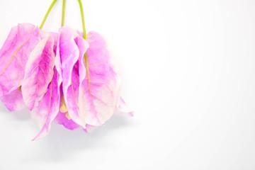 Paper flowers or Bougainvillea, Pink Bougainvillea on white background, Beautiful Bougaville, flowers on white background
