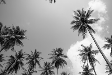 Coconut palm trees sunny day in black and white - Tropical summer breeze holiday