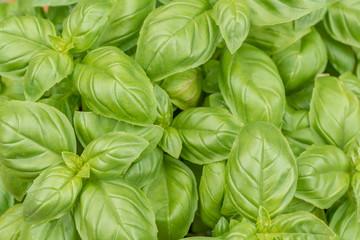 Frischer saftig grüner Basilikum für mediterrane Würzung