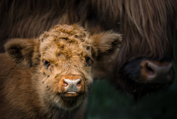 Mutter und Kalb Highland Rind / Highland Cattle / Bos taurus